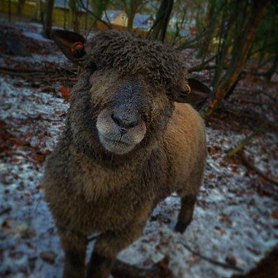 Zeus our coloured ryeland sheep.