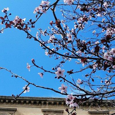 """Foto della facciata della bellissima e storica biblioteca comunale """"E. Taranto"""", scattata in primavera, da sotto gli alberi in fiore che contornano la via Santa Maria di Gesù."""