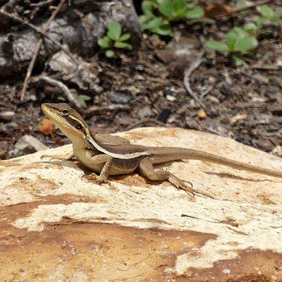 A Rocklea Dragon, common to the Rocklea Wetland Habitat area.