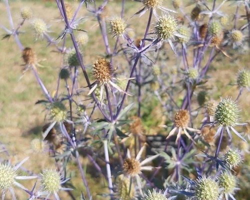 Cardos azules, Jardí botànic històric