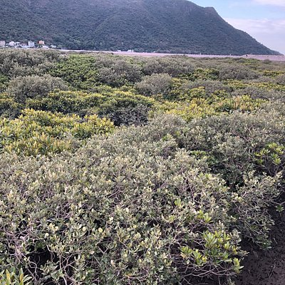 Yim Tin Mangrove Forest found at the Tai O fishing village