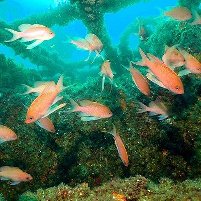 Anthias in Gibraltar wreck