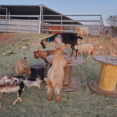 The goats are so silly to watch play.