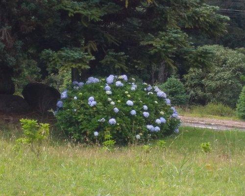Flores da Hortênsia