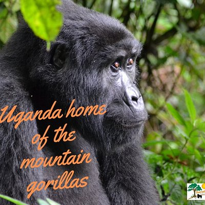 Uganda is one of the only few places with mointain gorilla, and together with Rwanda,they hold 60% of the world gorillas population. Worth a destination to reach if you want tlo trek gorilla!