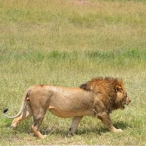 King of the jungle takes a walk.