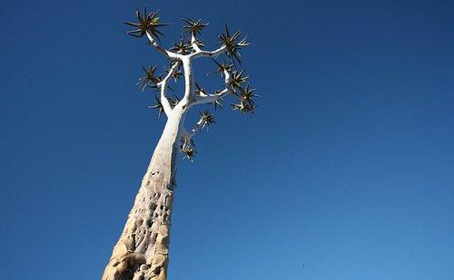 Quiver tree against a blue sky