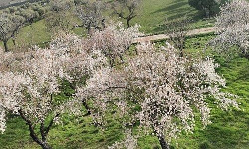 Árboles frutales en flor.