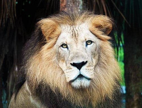 Masamba, the male African lion at Naples Zoo.