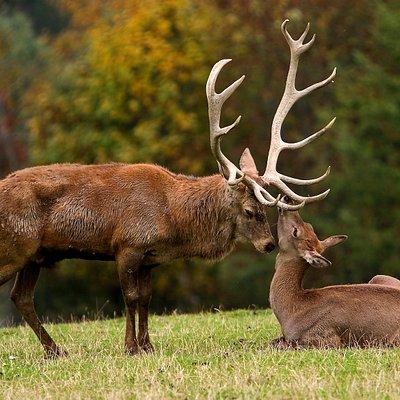 Rotwild im Wildpark Aurach