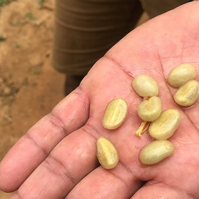 young coffee beans