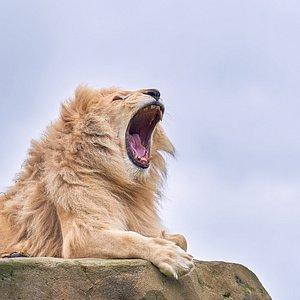 Moto the White Lion