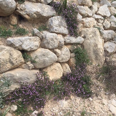 """L ' ERICA  nella sua splendida fioritura abbarbicata sui muretti a secco dei """" Sentieri CAI """" del Monte San Giuliano ."""