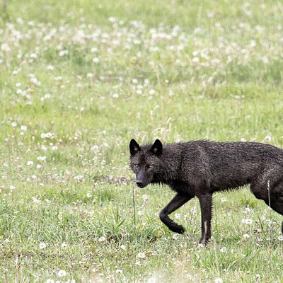 Black wolf in Lamar Valley, Yellowstone National Park