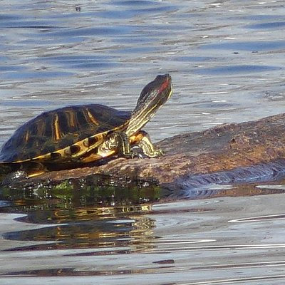 My grandkids saw it first - a healthy looking turle climbing up a log in the middle of the pond