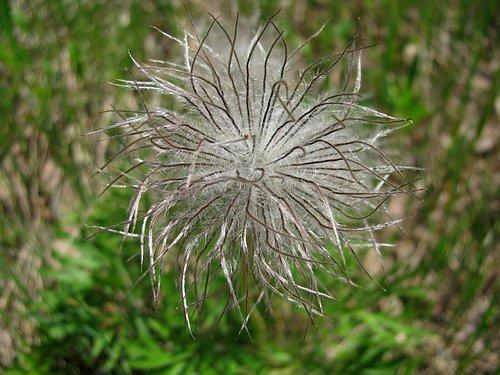 American Pasqueflower