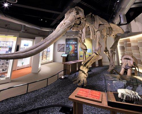 肩までの高さが3.8mに達する大型のステゴドン「コウガゾウ」の全身骨格と、有明海で見つかった臼歯化石を展示しています!(ステゴドンはアジア各地の広い範囲で化石が見つかっている絶滅したゾウのなかまです。)大迫力の骨格標本を是非ご覧ください。