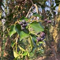 Ivy and trees in Bolehill Wood