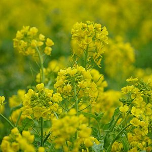 黄色い花の絨毯。