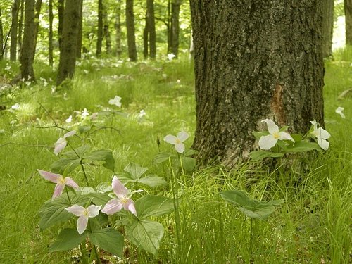 Trilliums in May at Rib Mountain State Park