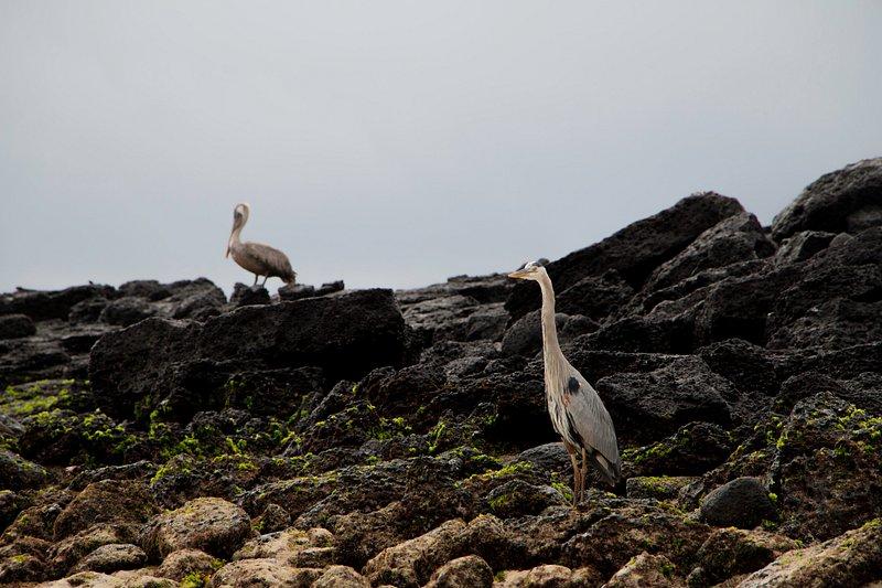Great blue heron, Galapagos Islands, Ecuador