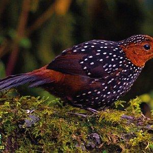 Ocellated Tapaculo by Ecuador Birds Tours