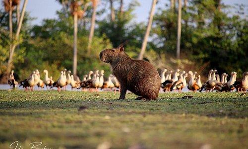 Capybara and Orinoco Geese