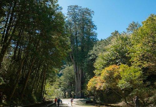 Syueshan Giant Tree