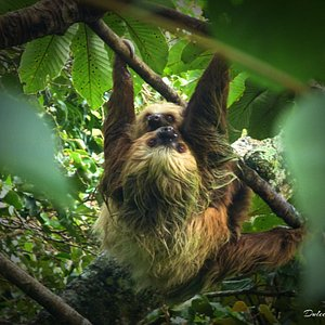 Sarah the Two-toed sloth and her baby Molasses. Another Monteverde Wild Hikes adventure.