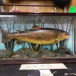 Large trout