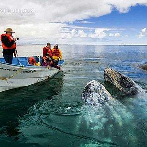 San Ignacio Lagoon Grey Whales