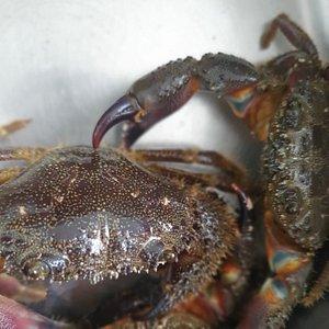 Granchi pelosi : si trovano tra gli scogli del litorale roccioso Trapanese ....