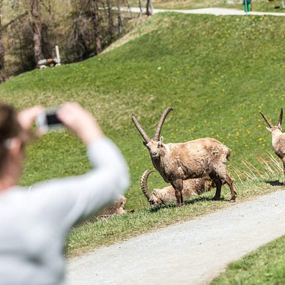 IBEX Promenade - A paradise for ibex - Steinbock Paradies - Un paradis pour les bouquetins (Pontresina - Grisons/Graubünden)