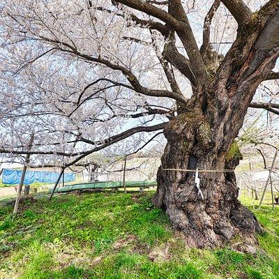 千歳桜:桜の笠のしたで幹の部分を撮影