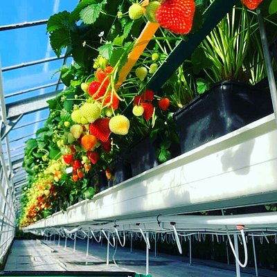 Strawberries grown in greenhouses