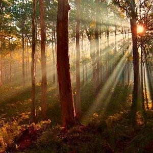 Sun Rise Margaret River Karri Forest