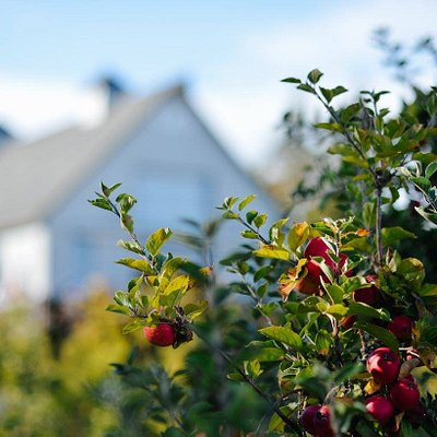 A view of our ciderhouse during harvest season when the orchard is lush with apples!