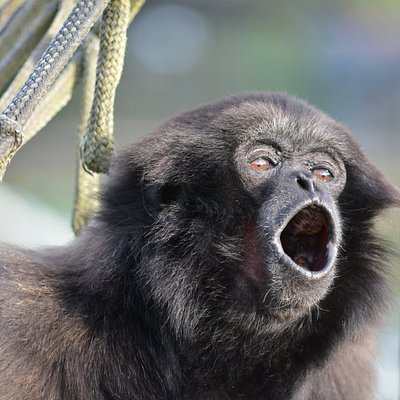 Müellers gibbon, Bono, singing for breakfast