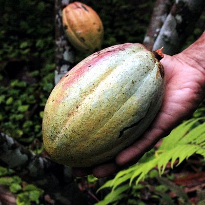 we have about 9 different organic cacaos and produce the most delicious chocolate.