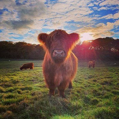 Our Highland Cows in their element