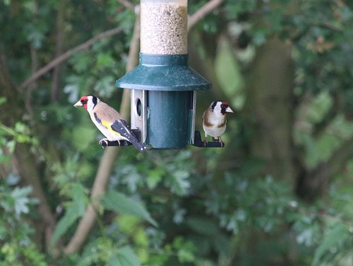 Goldfinch on the feeders