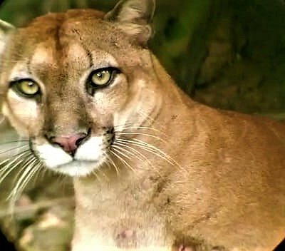 Puma during a 3-day hike in Corcovado National Park