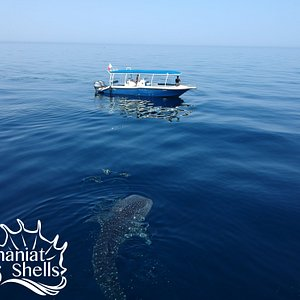 Whaleshark on the way to daymaniat islands