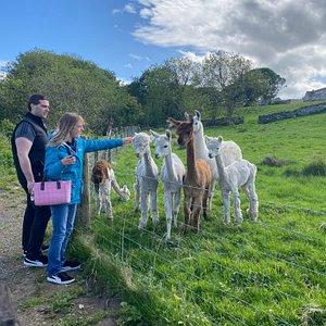 Visitors saying hello to the Alpacas & Llamas 🤍