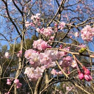 春の桜はとても綺麗でした。
