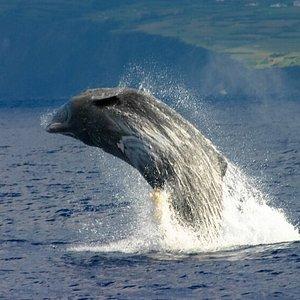 Cachalote a saltar. 1 em cada 10 avistamentos de cachalotes observamos saltos de animais. Para comunicação, divertimento ou para remoção de parasitas, tudo são boas razões para um salto destes monstros marinhos. Tenha a câmara a postos!