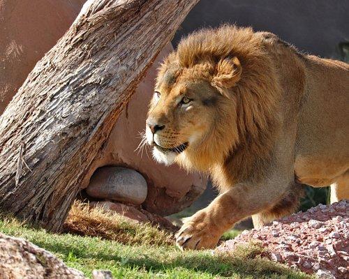 Boboo an African lion