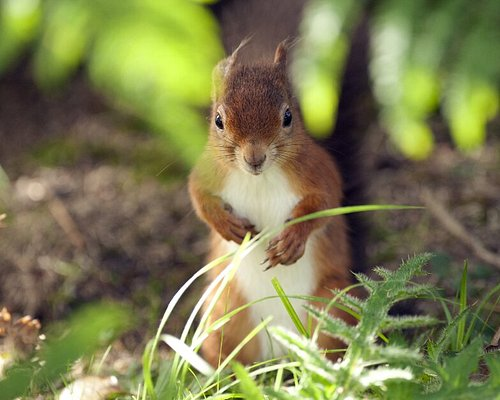 Brownsea Island is home to over 200 rare red squirrels and is a great place to spot them.