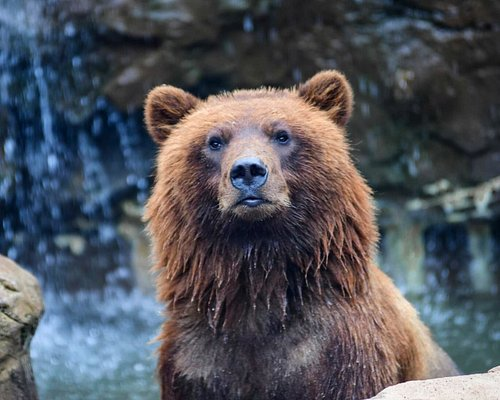 Tundra and Banks, two brown bears, were orphaned when their mother was tragically killed by a car. Unable to survive on their own in the wild, we have provided them a  forever home right here at the Lake Superior Zoo!