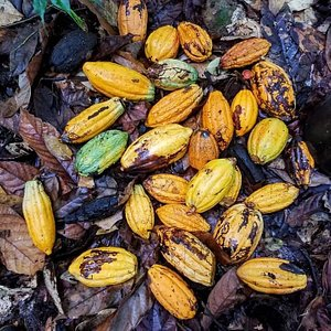 Fotos de la zona cacaotera del cantón Quininde